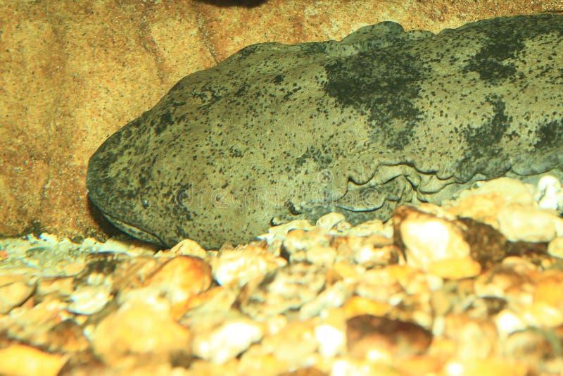 Chiński Gigantyczny jaszczur obraz stock