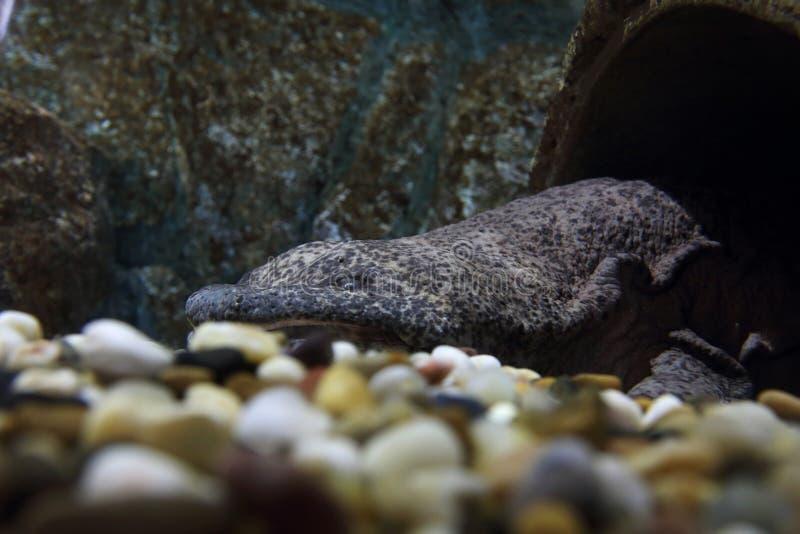 Chiński Gigantyczny jaszczur zdjęcie royalty free