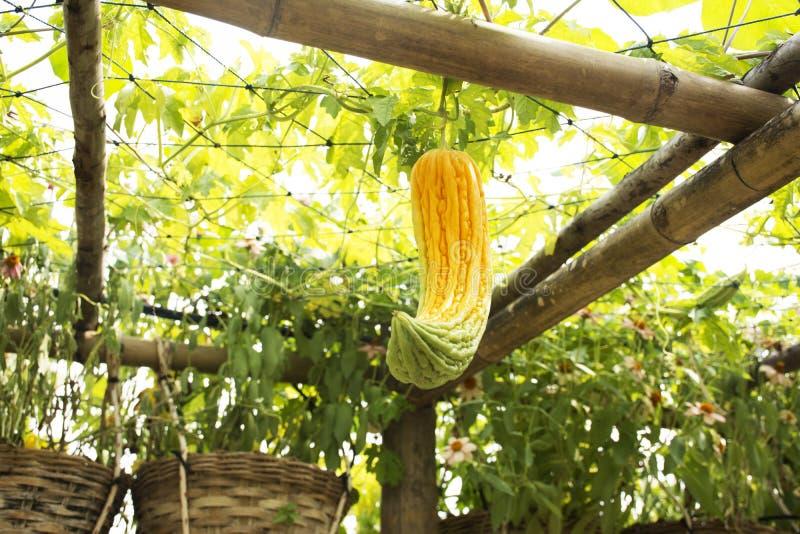 Chiński gorzki melon lub Momordica charantia platn w ogródzie obraz stock