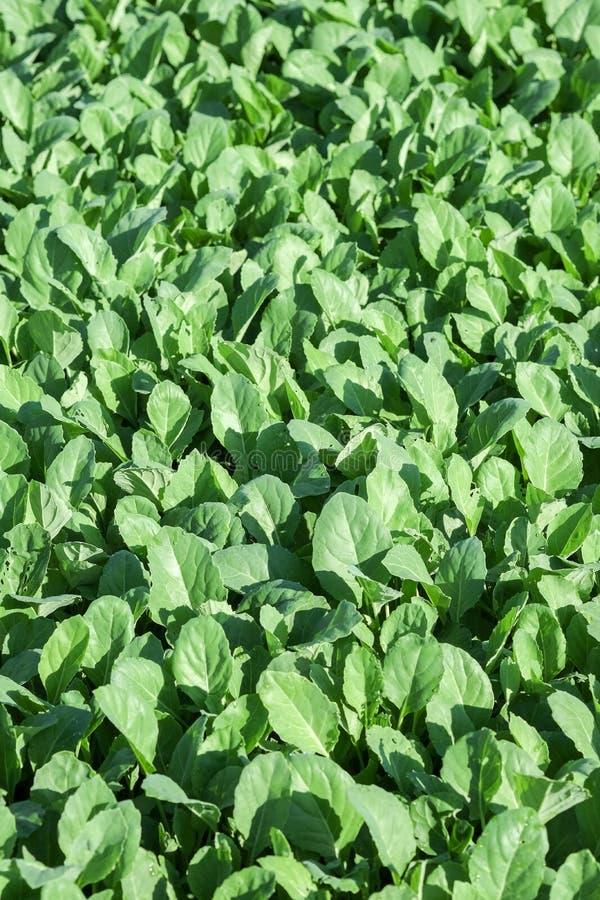 Chiński kale warzywo r z ziemi w ogródzie zdjęcia stock