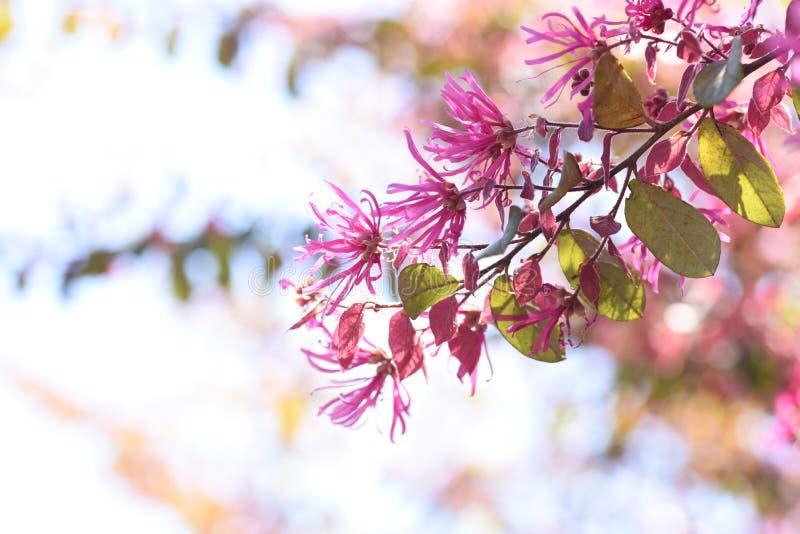 Chiński krana kwiat obraz stock