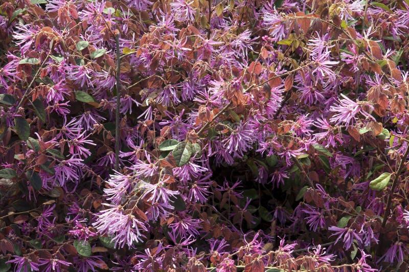 Chiński krana kwiatu krzak w kwiacie fotografia stock