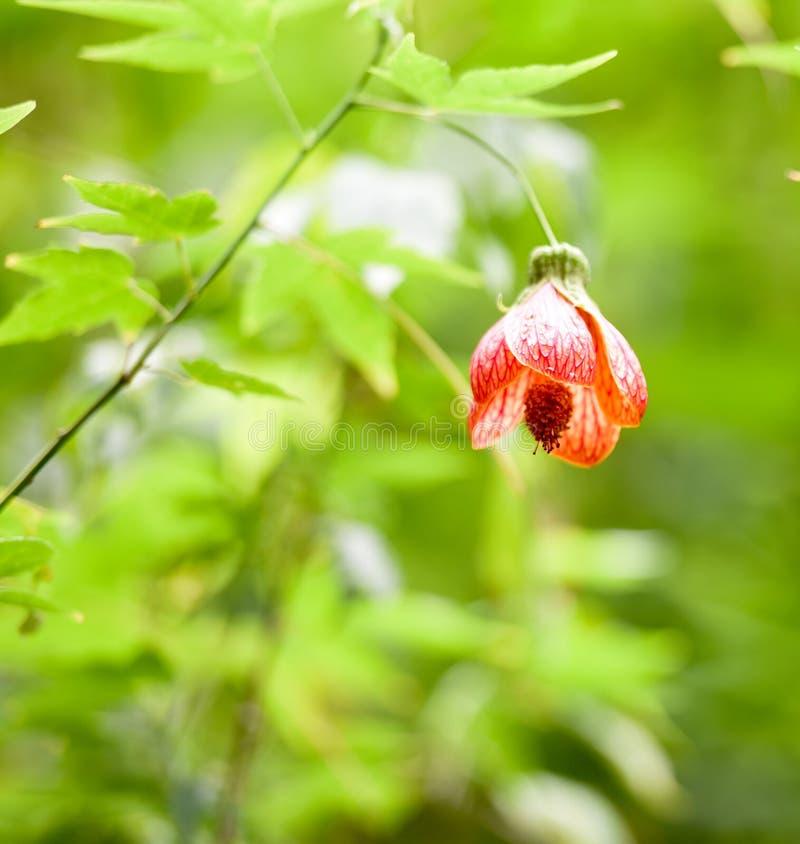 Chiński Latarniowy Drzewny okwitnięcie, Tygrysi oko, fotografia stock