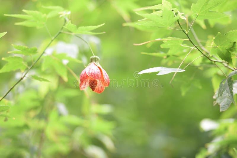 Chiński Latarniowy Drzewny okwitnięcie, Tygrysi oko, zdjęcia stock