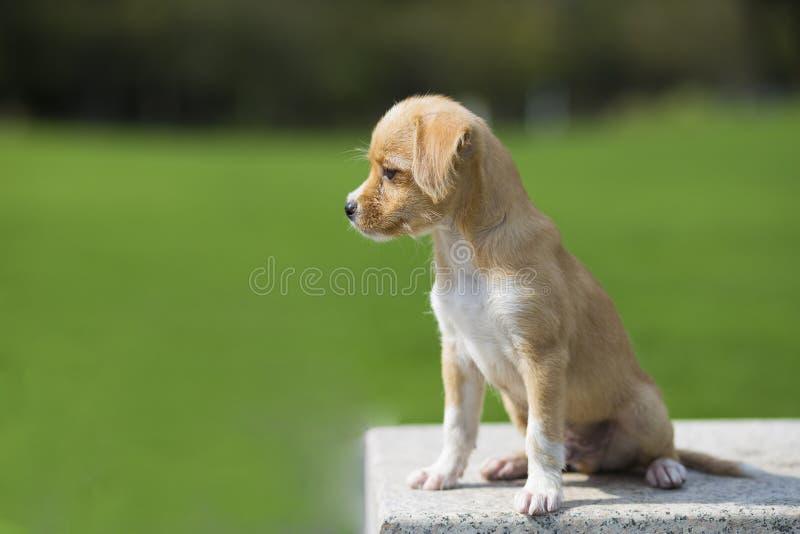 Chiński pastoralny pies obraz stock