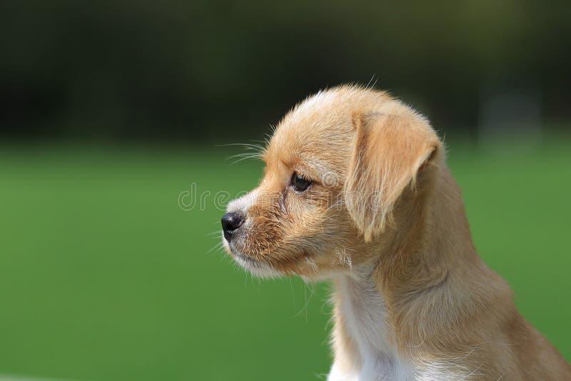 Chiński pastoralny pies fotografia stock