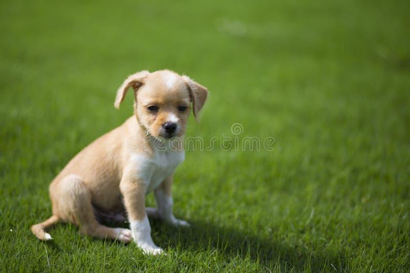 Chiński pastoralny pies obrazy royalty free