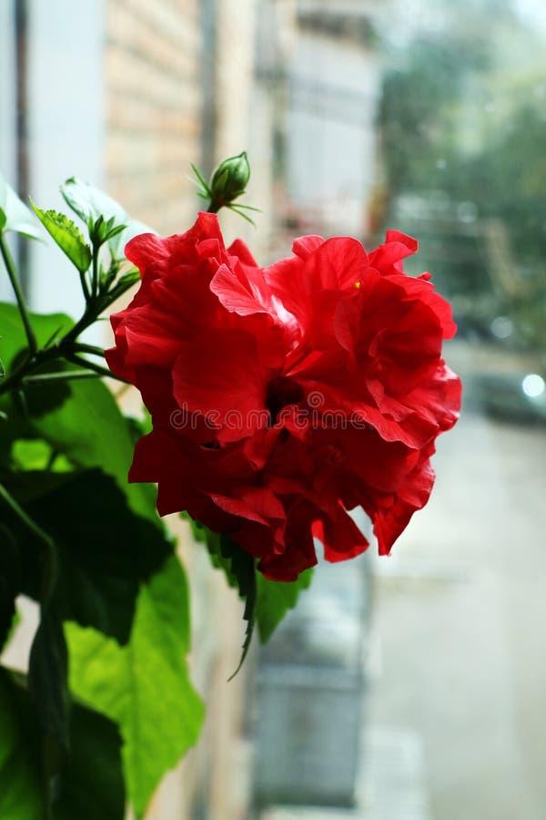 Chiński róża kwiat obraz stock