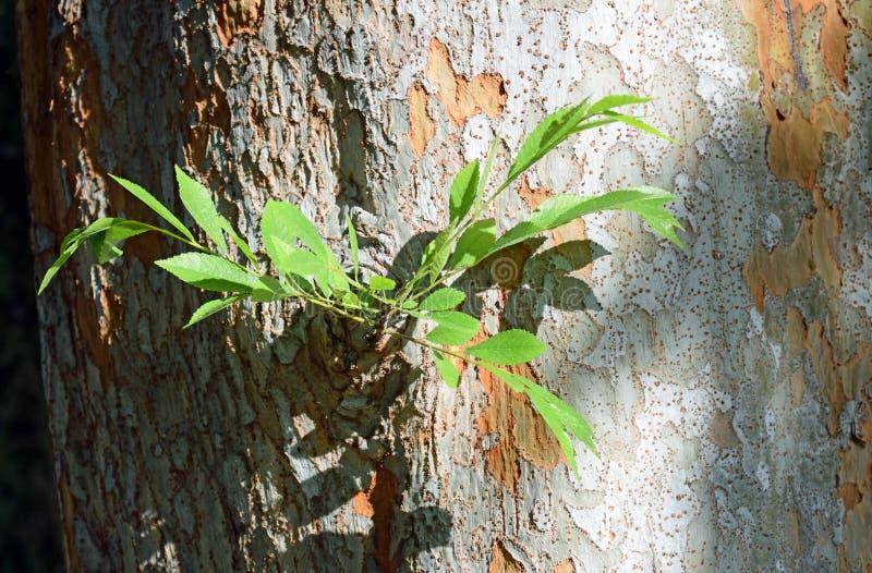 Chiński wiąz & x28; Ulmus parvifolia& x29; bagażnik barkentyna i obrazy stock