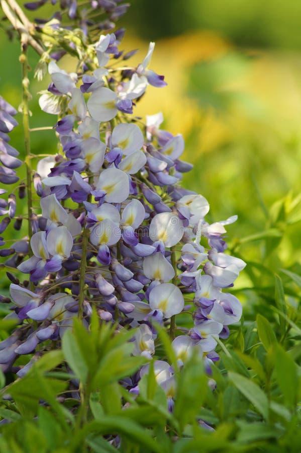 Chińskie żałość - żałości kwitnienie w lato ogródzie sinensis cukierki żałość obraz stock