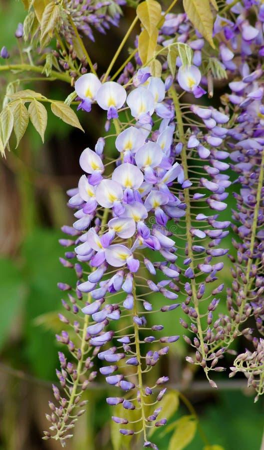 Chińskie żałość - żałości kwitnienie w lato ogródzie sinensis cukierki żałość zdjęcie stock