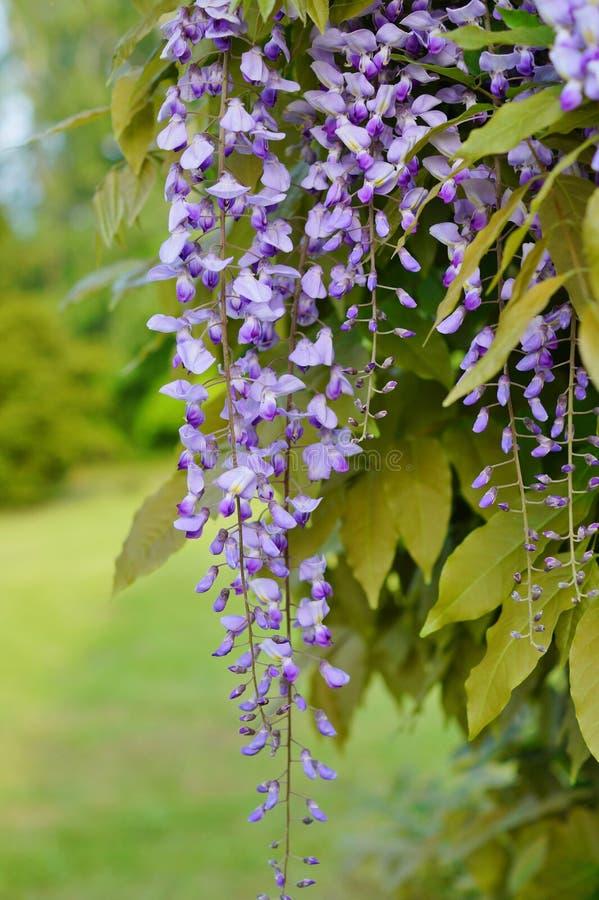 Chińskie żałość - żałości kwitnienie w lato ogródzie sinensis cukierki żałość fotografia royalty free