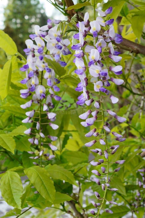 Chińskie żałość - żałości kwitnienie w lato ogródzie sinensis cukierki żałość zdjęcie royalty free
