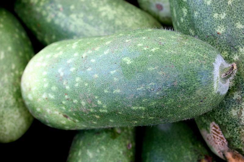 Chi qua, Fuzzy gourd, Mokwa, Benincasa hispida var. chieh-gua. A type of wax gourd with light green skin covered with fine soft hairs, popular in Chinese stock photos