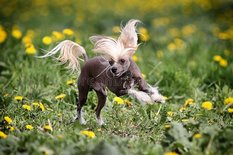 Download Chiński czubaty pies zdjęcie stock. Obraz złożonej z pies - 25775122