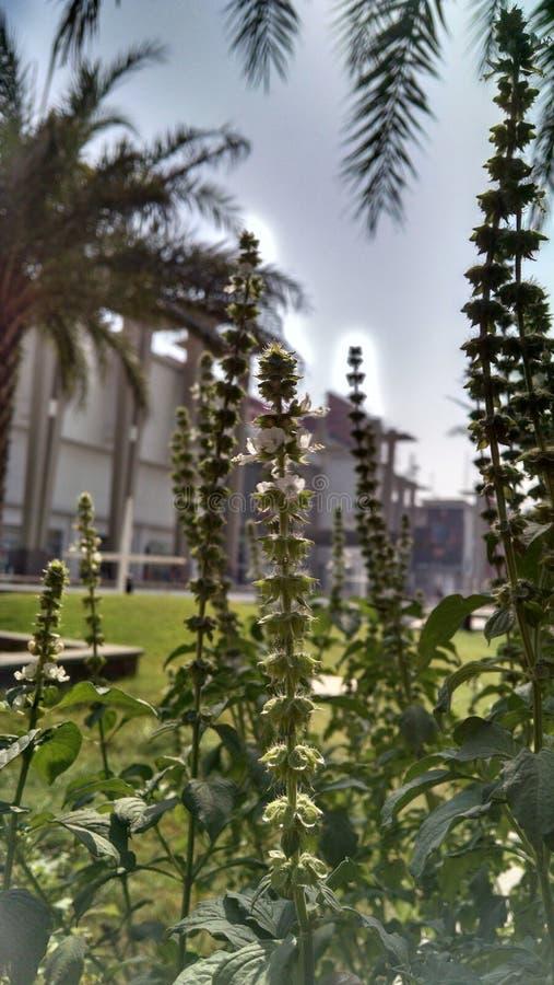 Chia Flowers arkivbilder