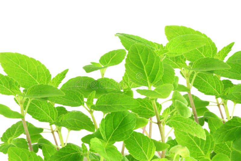 Chia kärnar ur den Salvia hispanicaväxten med textutrymme arkivfoto