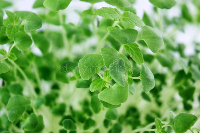 Chia seeds Salvia hispanica plant newly sprouting growing closeup stock images
