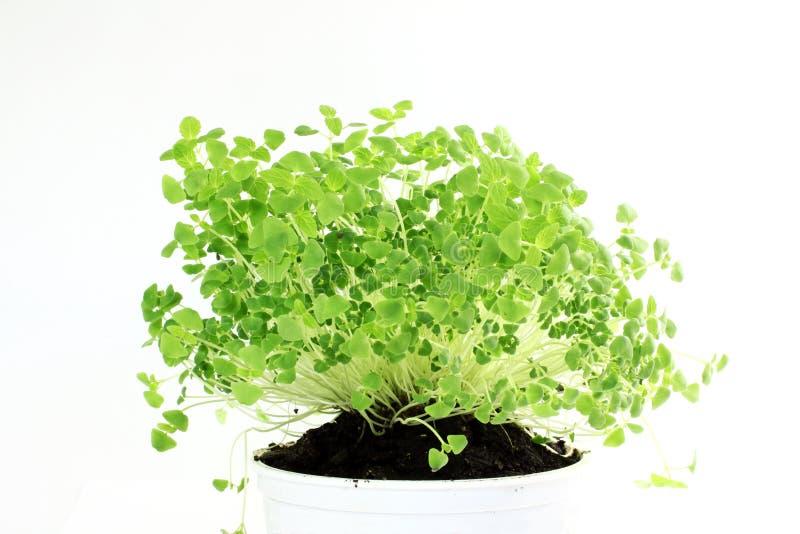 Chia semina la pianta di hispanica di Salvia recentemente che germoglia la crescita immagine stock