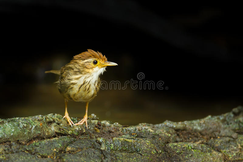 chiacchierone Soffio-throated fotografia stock
