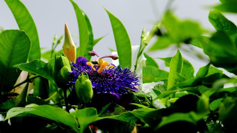 Chiamata passiflora 'ispirazione' immagini stock libere da diritti