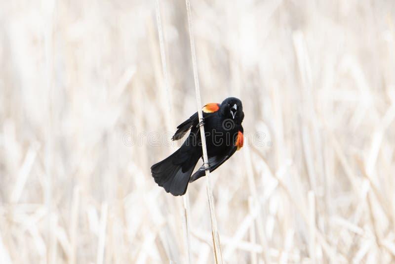 Chiamate di phoeniceus del Agelaius del merlo ad ali rosse da una palude fotografie stock