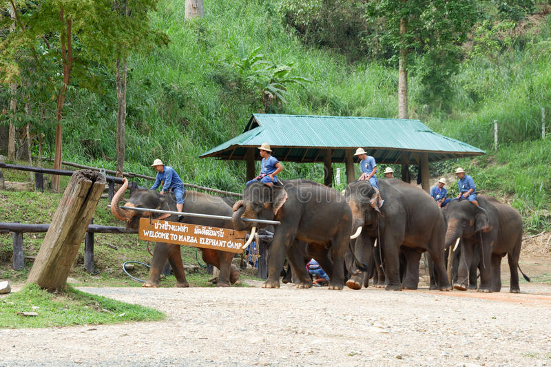 CHIANG MAI, THAILAND – MAY 6, 2017: Daily elephant show on May 6, 2017 at MaeSa elephant camp, Chiang mai, Thailand stock images