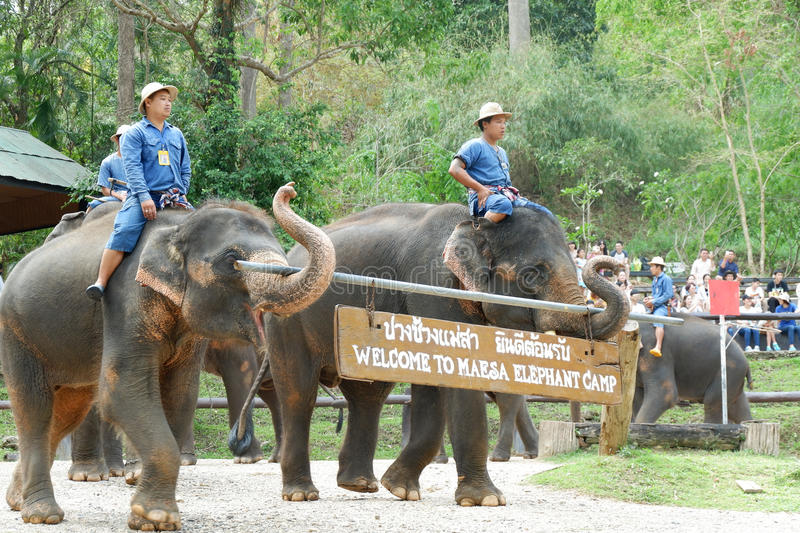 CHIANG MAI, THAILAND – MAY 6, 2017: Daily elephant show on May 6, 2017 at MaeSa elephant camp, Chiang mai, Thailand. CHIANG MAI, THAILAND – MAY 6, 2017 stock photography