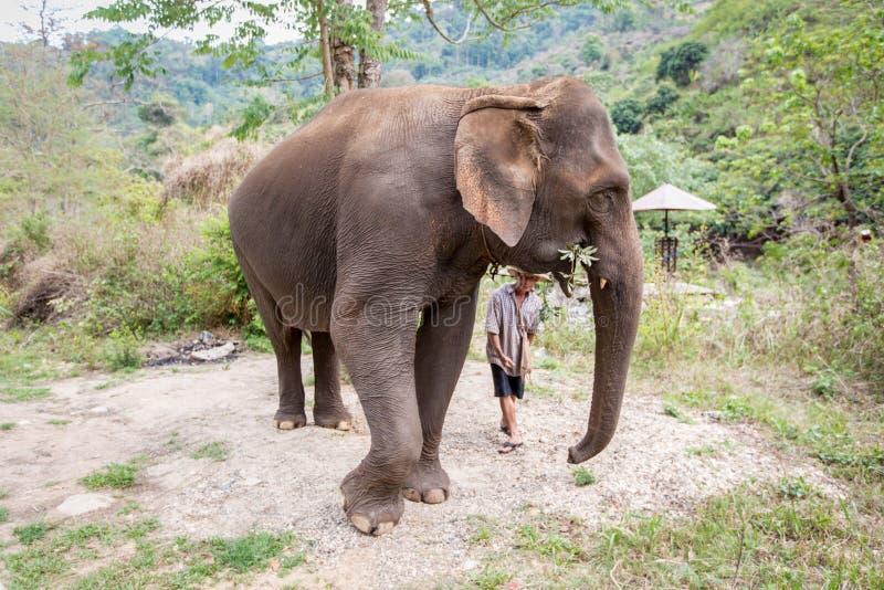 Chiang Mai Thailand-April 13, 2018: Asiatisk elefant som äter plan arkivfoto