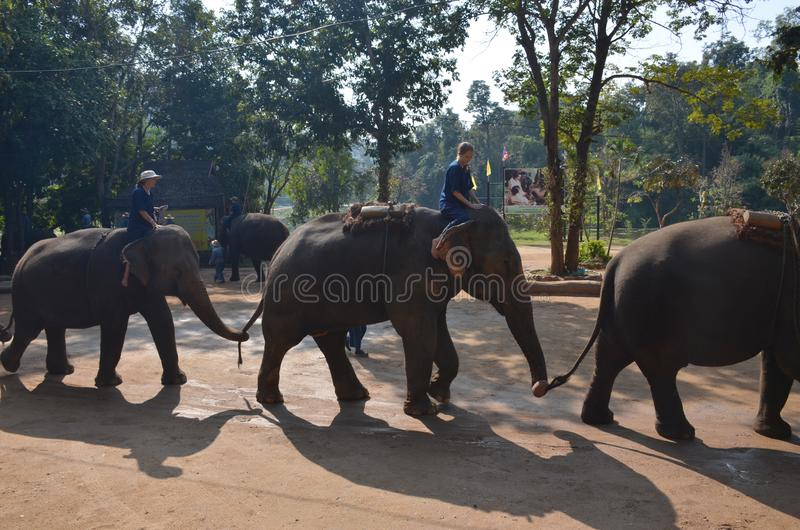 Chiang Mai, Thailand - December 16, 2015: Daily show at the Thai Elephant Conservation Center in Lampang. Elephants go in a row royalty free stock photos