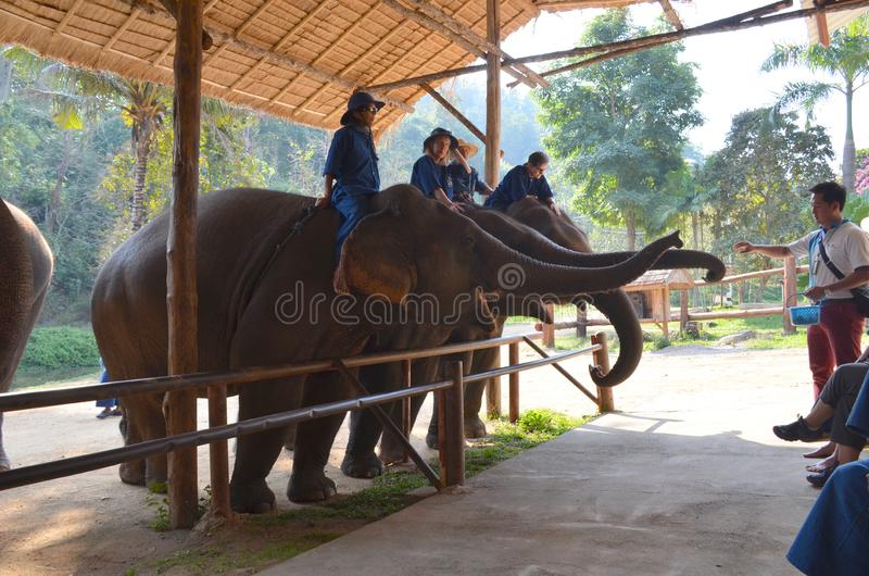 Chiang Mai, Thailand - December 16, 2015: Tourists feed elephants at the Thai Elephant Conservation Center in Lampang. Side view royalty free stock photography