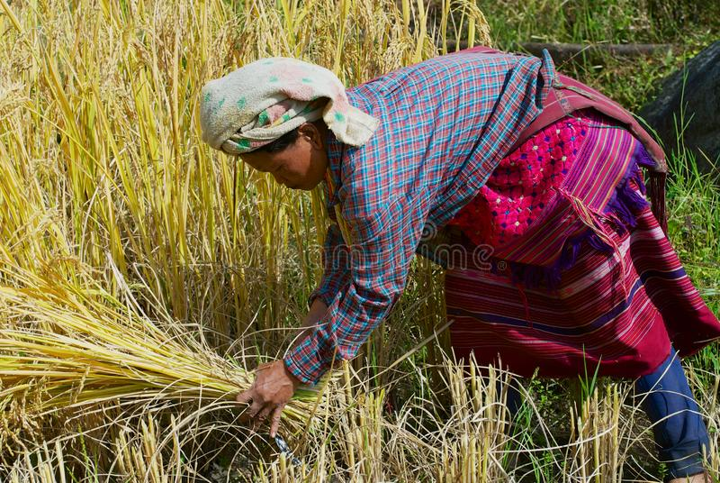 Woman of the White Karen hill tribe harvests rice at the field in Chiang Mai, Thailand. Chiang Mai, Thailand - November 14, 2008: Unidentified woman of the stock photos