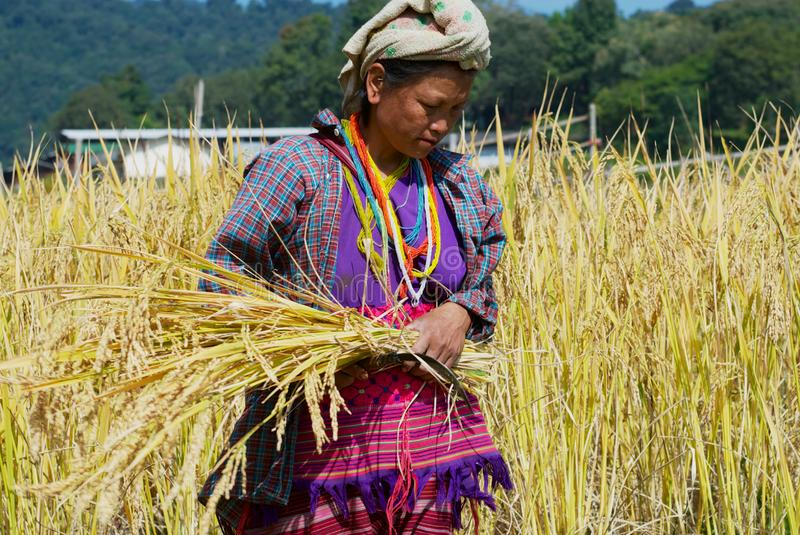 Woman of the White Karen hill tribe harvests rice at the field in Chiang Mai, Thailand. Chiang Mai, Thailand - November 14, 2008: Unidentified woman of the royalty free stock photos