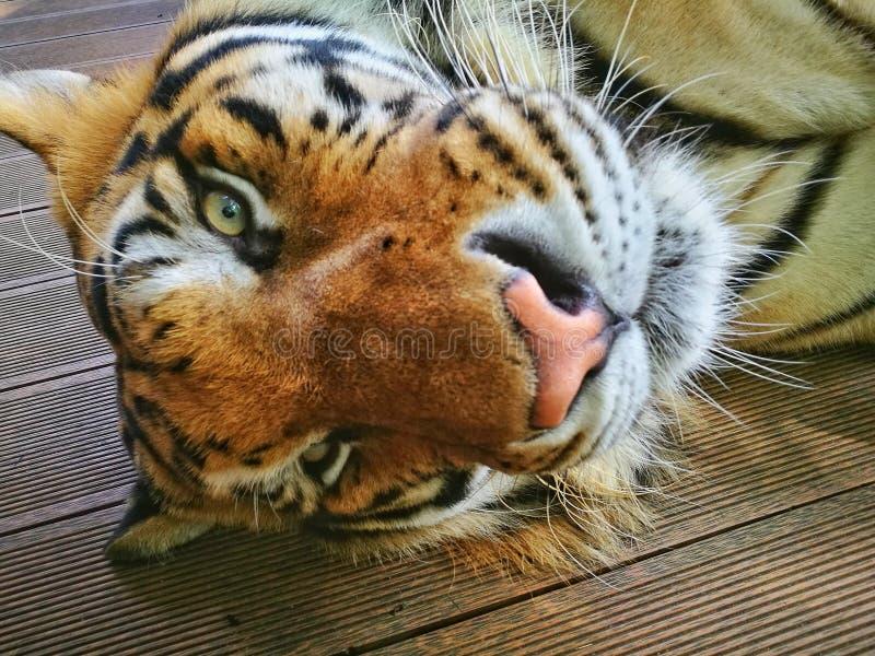 Chiang Mai, Tiger Kingdom, een kat is altijd een reusachtige kat, maar een kat royalty-vrije stock foto