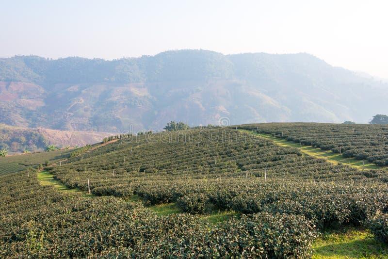 Chiang Rai, Tailândia - 28 de fevereiro de 2015: Opinião da manhã do chá Plantat imagens de stock