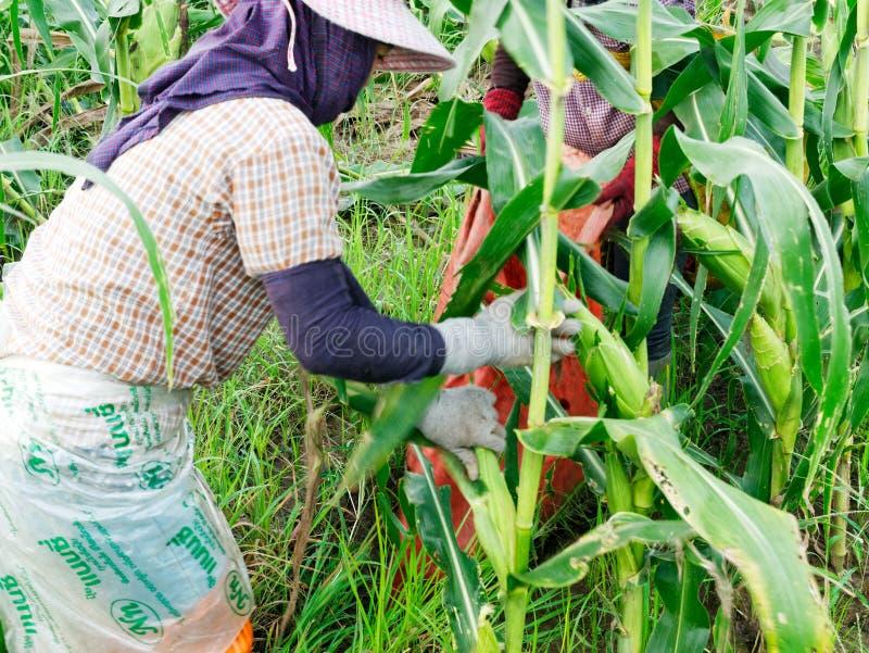 CHIANG RAI, TAILANDIA - 7 DE JUNIO: El birmano Myanmar o Birmania de los trabajadores extranjeros emplea para cosechar el maíz du fotografía de archivo