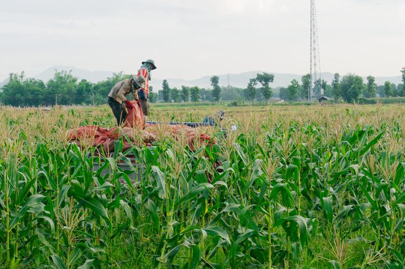 CHIANG RAI, THAILAND - JUNE 07 : Foreign workers Burmese  Myanmar or Burma  Hire to harvest Sweet corn in the area north. Thailand border. The sweet corn send royalty free stock image