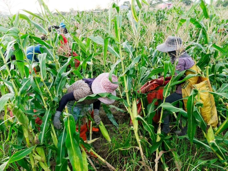 CHIANG RAJA TAJLANDIA, CZERWIEC, - 07: Zagranicznego robotnika birmańczyk Myanmar lub Birma dzierżawienie zbierać Słodką kukurudz zdjęcie royalty free