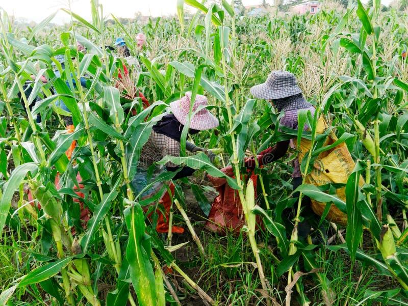 CHIANG RAJA TAJLANDIA, CZERWIEC, - 07: Zagranicznego robotnika birmańczyk Myanmar lub Birma dzierżawienie zbierać Słodką kukurudz obraz royalty free