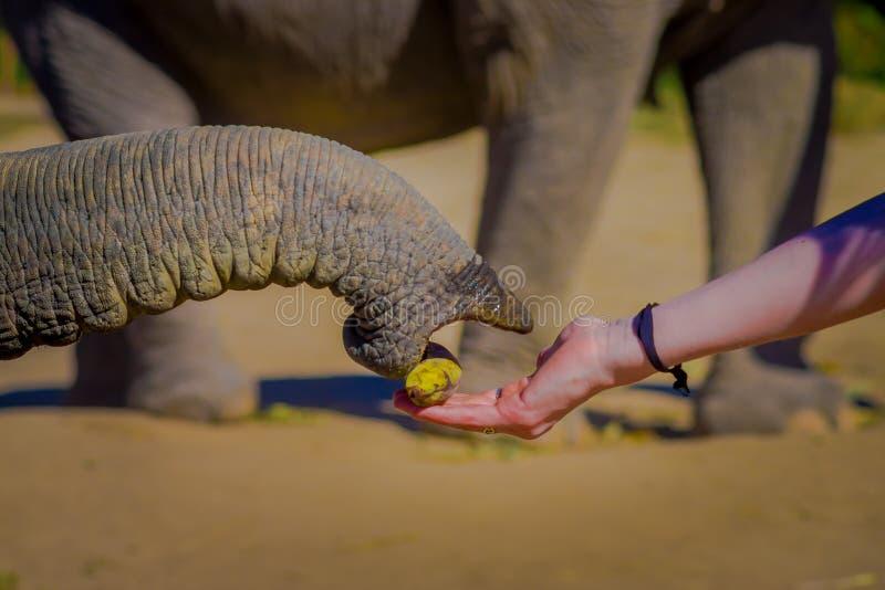 CHIANG RAJA TAJLANDIA, LUTY, - 01, 2018: Zakończenie up bagażnik bierze troszkę banana od mężczyzna ręki w a słoń zdjęcia stock