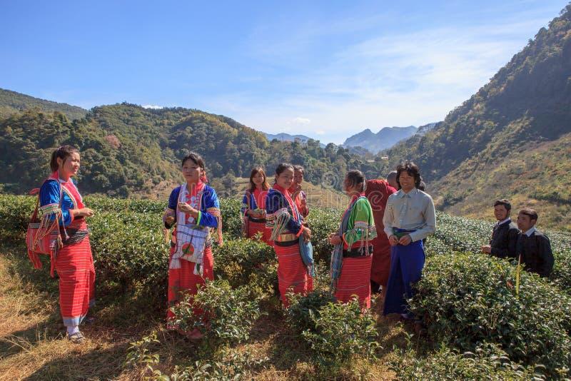CHIANGMAI TAILANDIA - JAN10: raccolta della gente della tribù della collina dara-ANG immagine stock