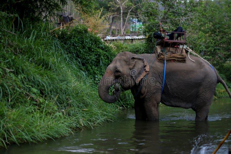 Chiangmai, Tailandia - 31 marzo 2016: Resti del Mahout sull'elefante fotografia stock