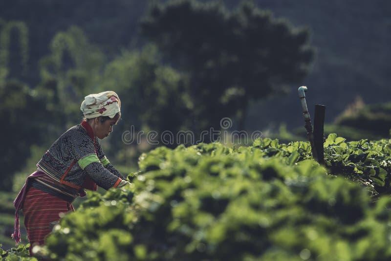 CHIANGMAI TAJLANDIA, JAN - 9,2016: tajlandzki ang wzgórza plemienia harve zdjęcia royalty free