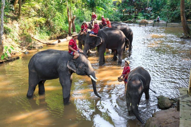 Chiangmai, Thaïlande - 16 novembre : les mahouts montent des éléphants et photographie stock libre de droits