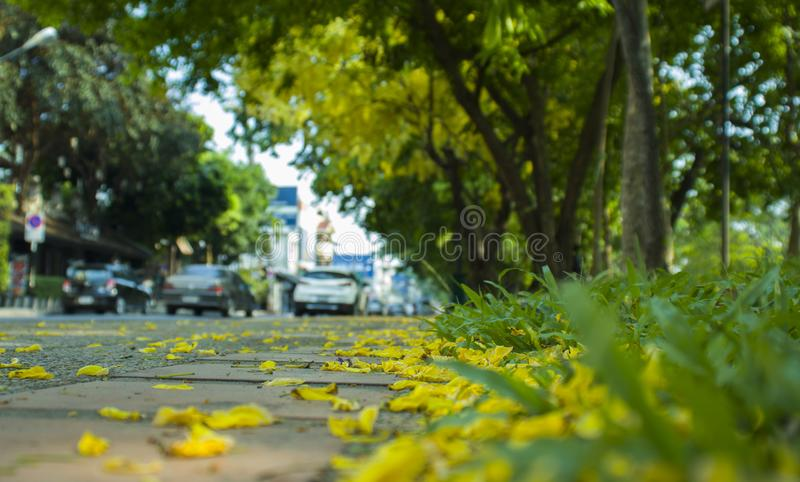 CHIANGMAI THAILAND-APRIL 30,2019: Den mjuka suddiga och mjuka fokusen av den guld- duschen, Cassiafistel, Fabaceae, gul blomma arkivfoto