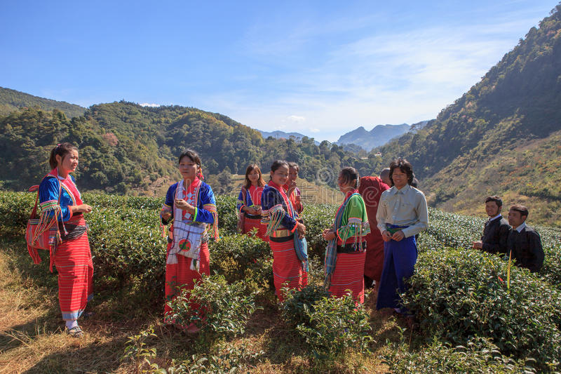 CHIANGMAI THAILAND - JAN10: dara-ANG de mensen van de heuvelstam het oogsten stock afbeelding
