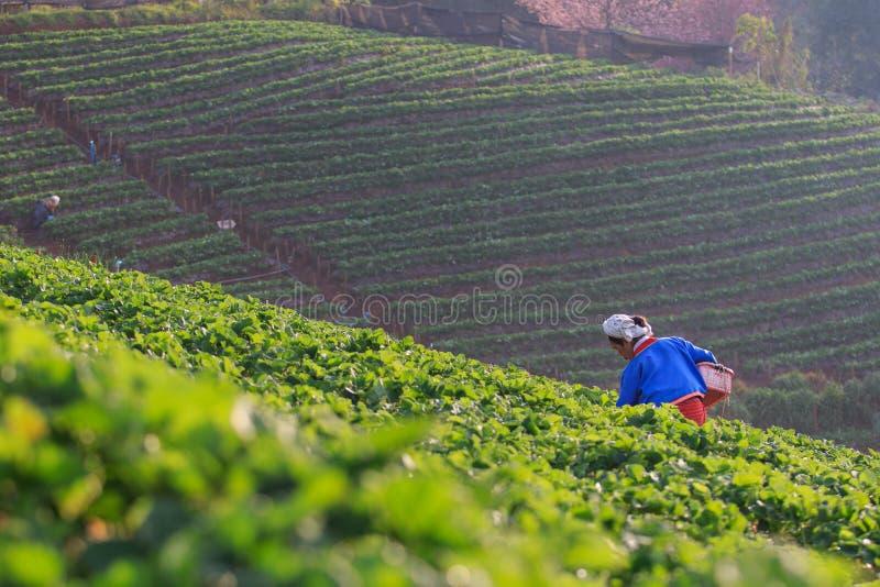 CHIANGMAI THAILAND - 11 JANUARI: aardbeienlandbouwer die org oogsten stock afbeelding