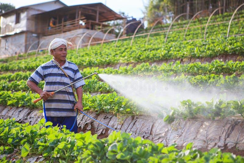 CHIANGMAI THAILAND - 9 JANUARI: aardbeienlandbouwer het bespuiten organi royalty-vrije stock fotografie