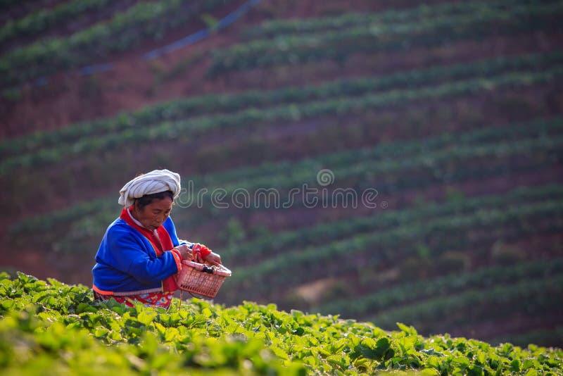 CHIANGMAI THAILAND - JANUARI 11: org för jordgubbebondeplockning arkivbilder