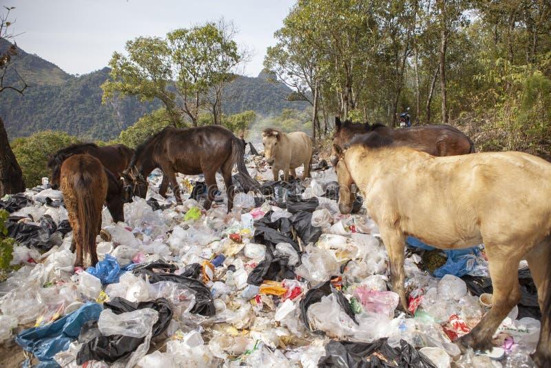 Chiangmai Thailand - 9,2016 januari: troep van binnenlandse paardfe royalty-vrije stock fotografie